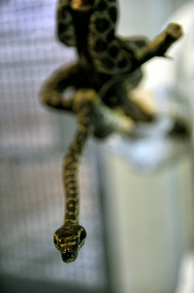 A young python, Morelia carinata. Photo courtesy of Hans Gutknecht/Los Angeles Daily News