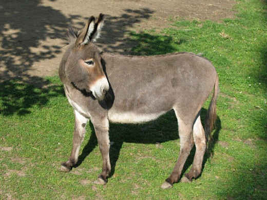 A Donkey Looking Behind Him