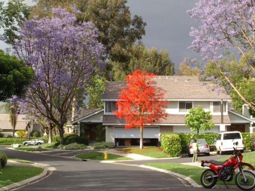 Blue jacaranda tree, illawara flame tree, May 2008.