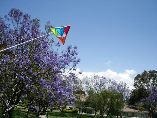 Flying my kite by jacaranda trees, May 2010.
