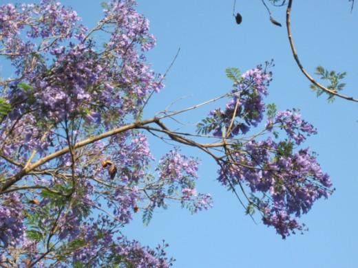 Jacaranda pods, May 8, 2012.