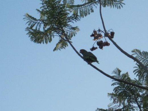 Mexican green parrot in jacaranda, May 16, 2012.