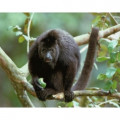 Facts About Howler Monkeys