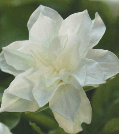 "March in the Garden: Trillium grandiflorum ""Snowbunting"""