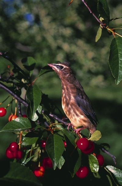 I like to share my cherries with the birds - do you?