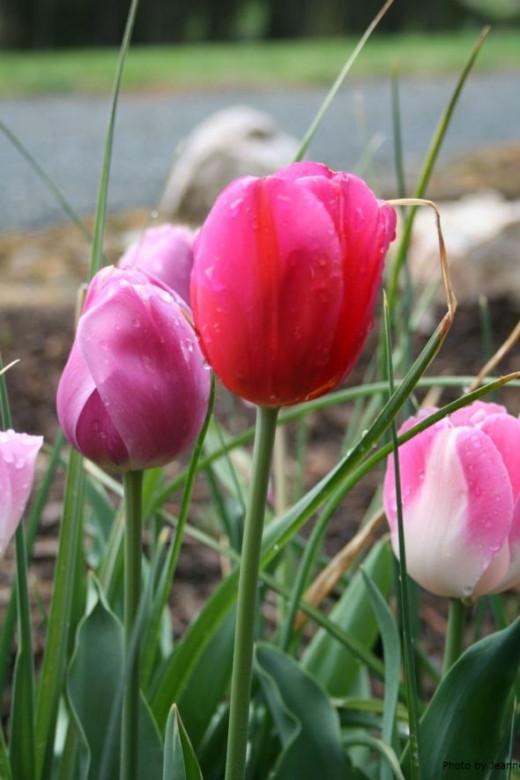 Tulip photography by Jeanne Grunert