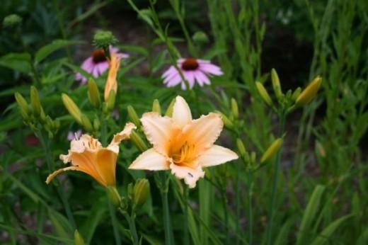 Native Perennials for Butterfly Gardens