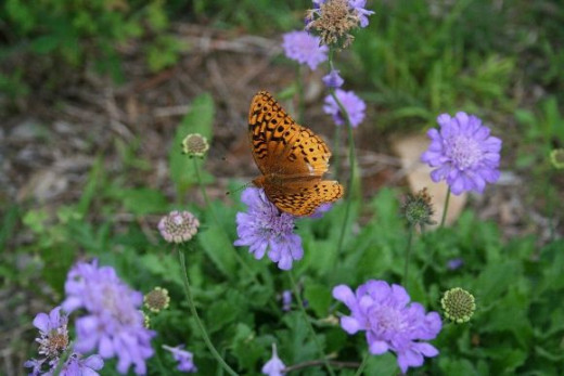 "Sabiosa ""Butterfly Blue"""