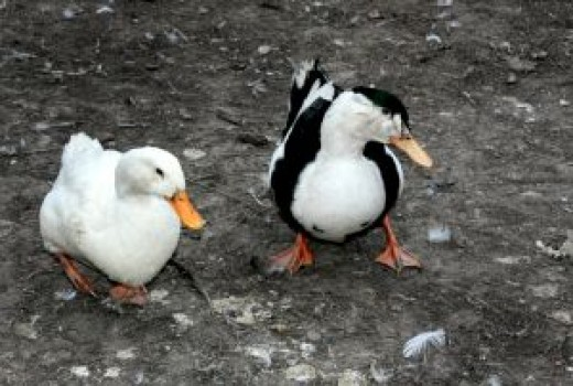 Muscovy ducks are one of the most popular breeds of ducks to raise.