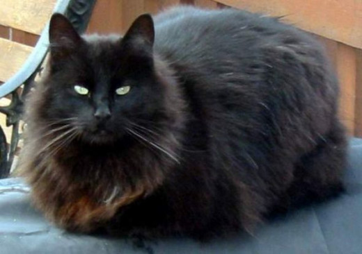 Blackie's fur thickened and faded with a red tinge during the 8 months he lived outdoors.