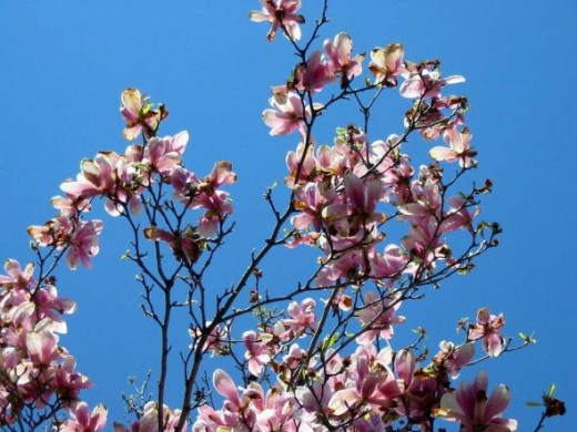 A branch of my mom's magnolia tree against a blue Spring sky