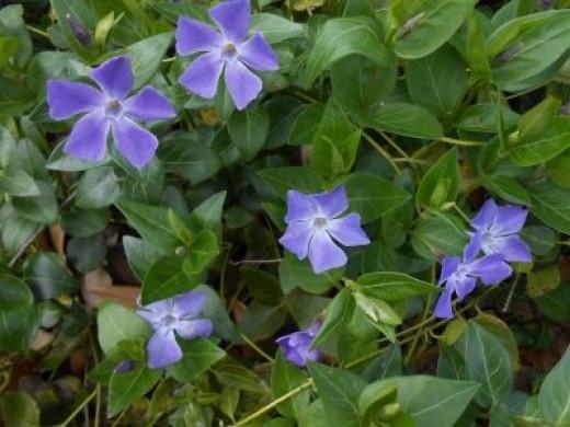 Vinca Minor Blooms Close Up