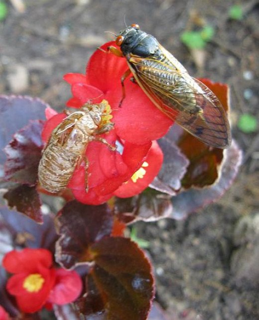 A Cicada on My Begonia Beside It's Shed Skin