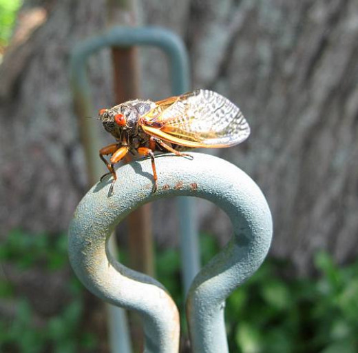 adult cicada