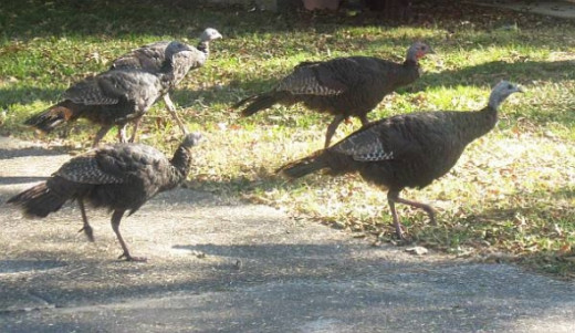 Our five fearless turkey friends!
