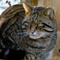 The Scottish Wildcat -- Britain's Most Endangered Mammal