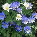 Blue Anemones :  Easy Spring Flowers