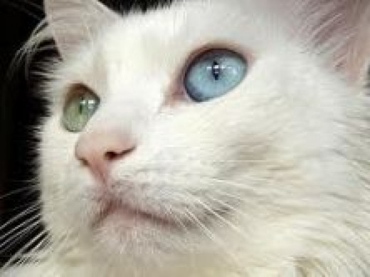 White Cats may have congential deafness