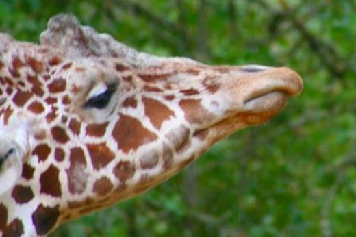 Giraffes nose