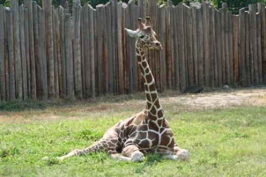 Baby Giraffe (c) by Linda Hoxie