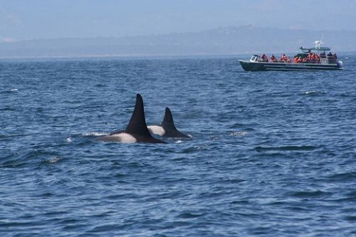 Two Orcas near a boat on the Puget Sound