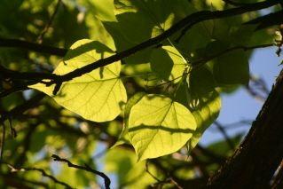 Backlit leaves