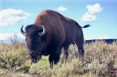 Bison or Buffalo in Yellowstone