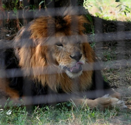 Lion rolling his tongue