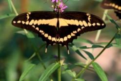 Enticing Butterflies to your Garden