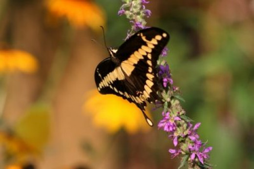 Giant Swallowtail attracted to: Butterfly Bush, Dianthus Family, Lantana, Swamp Milkweed , Sunflower, Salvia