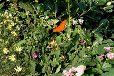 Julia Heliconian Butterfly that loves Lantana and Passion Flowers