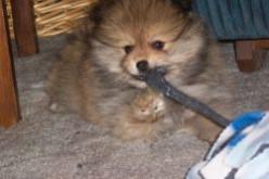 Our Pomeranian Dog