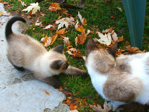 siamese kitten attacking leaves with his momma watching