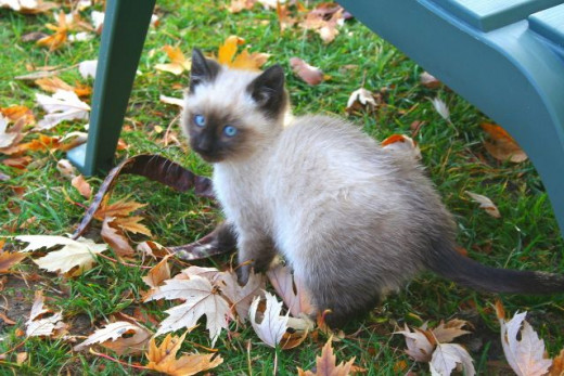 Siamese kitten with blue eyes