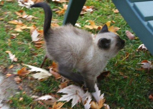 Siamese kitten jumping on a chair fall leaves