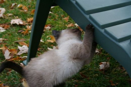 siamese kitten checking under the chair