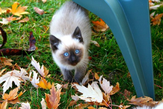 Beautiful blue eyed siamese kitten looking up
