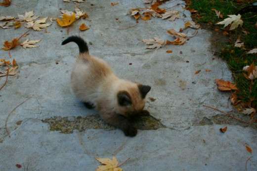 kitten attacking a crack in the sidewalk