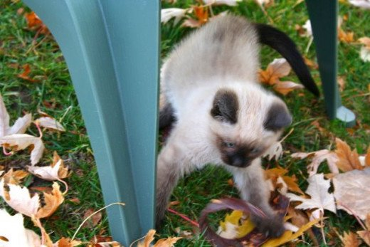 kitten attacking leaves in the fall