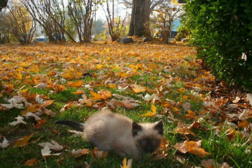 little kitten big yard covered in fall leaves
