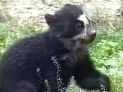 Spectacled Bears (aka Andean Bears)