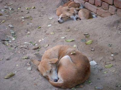 Street Dogs in New Dehli