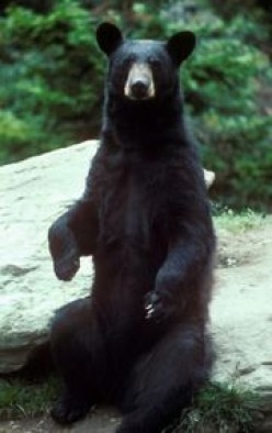 American Black Bears In All Their Glory