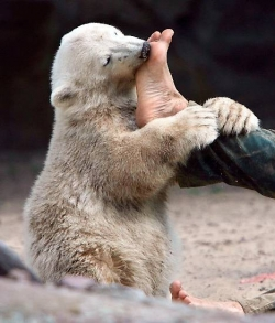 knut chewing man foot