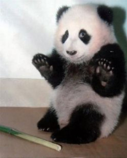 Giant Pandas - Cute, Adorable, Endangered