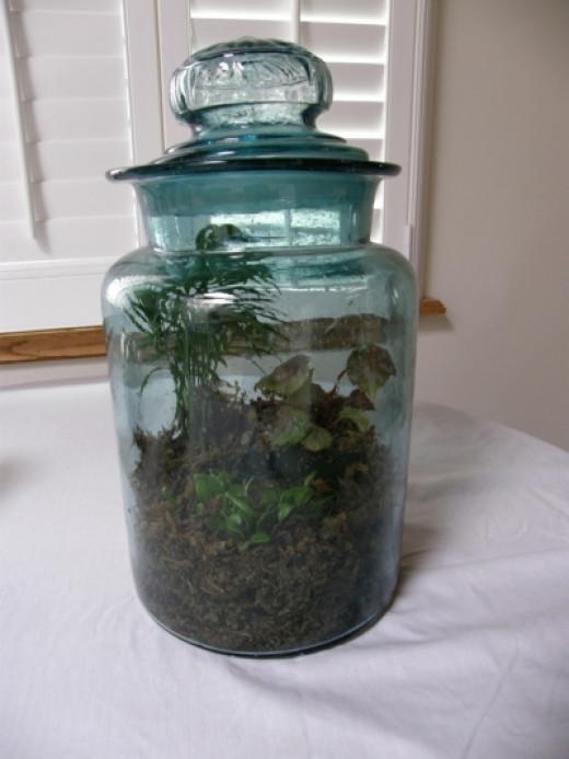 Antique green  jar terrarium