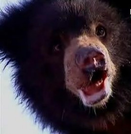 Rescued dancing bear with healed nose