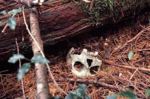 Aokigahara skull