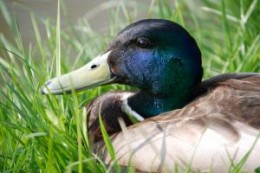 The Mallard duck is just one of many duck breeds that backyard hobbyists can choose to raise.
