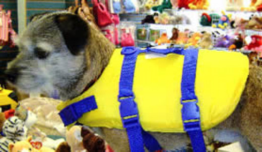 Robbie (Border Terrier) at Golly Gear for a Life Jacket fitting